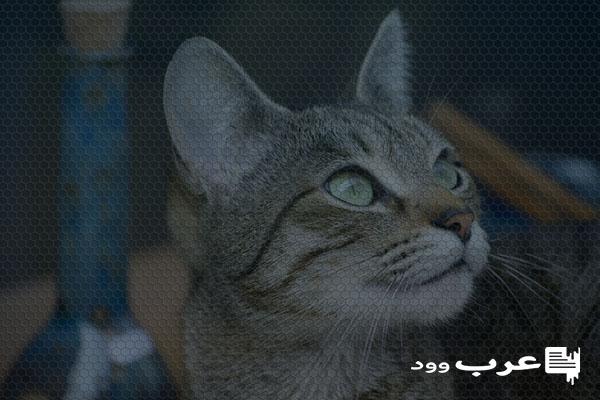 اسباب ترجيع القطط