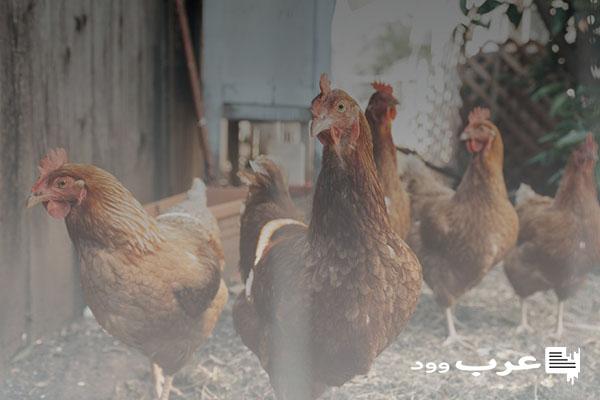 علاج الشخرة عند الدجاج